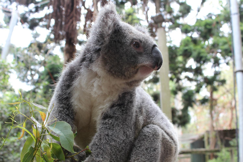 Month Of Australia Koala Park Onya Magazineonya Magazine
